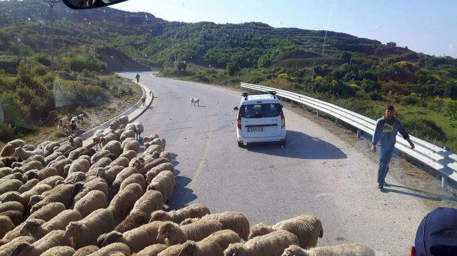 albania-droga-owce